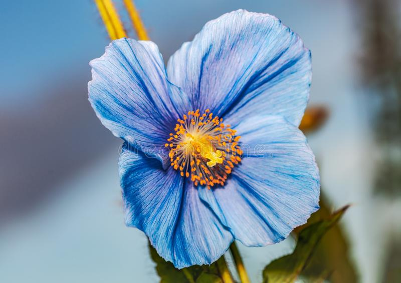 Flower Himalayan blue poppy Meconopsis betonicifolia. Sky in the background royalty free stock photos