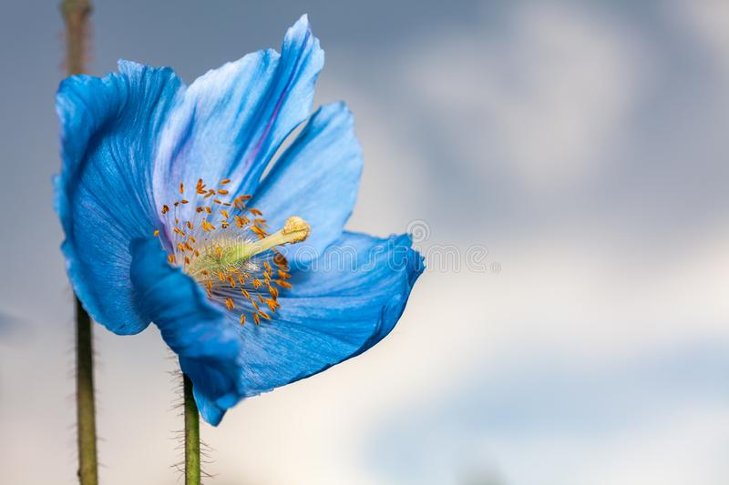 Flower Himalayan blue poppy Meconopsis betonicifolia. Sky in the background royalty free stock photography
