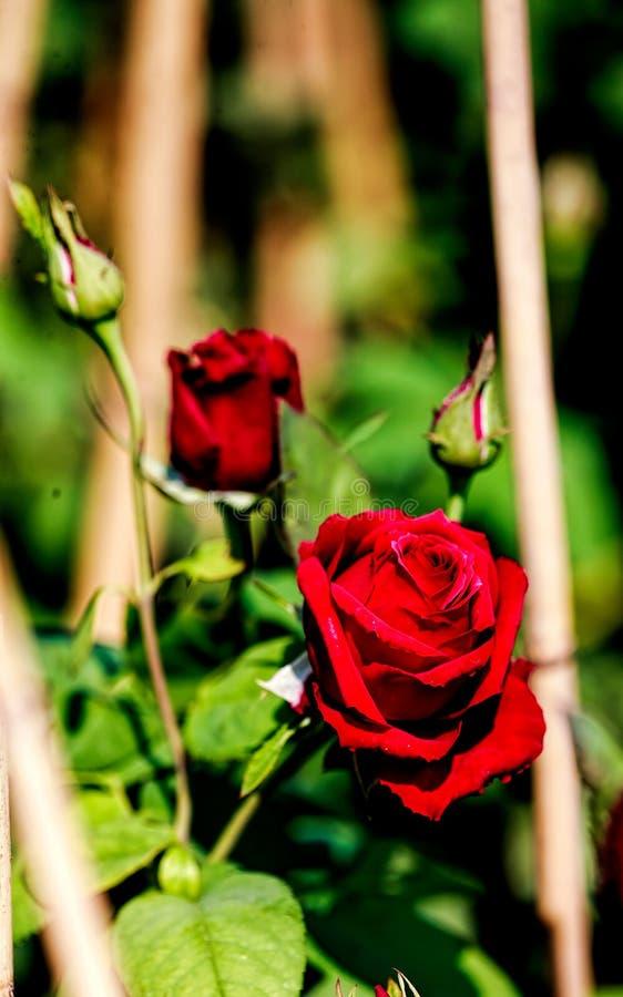Rose Flower royalty free stock photos