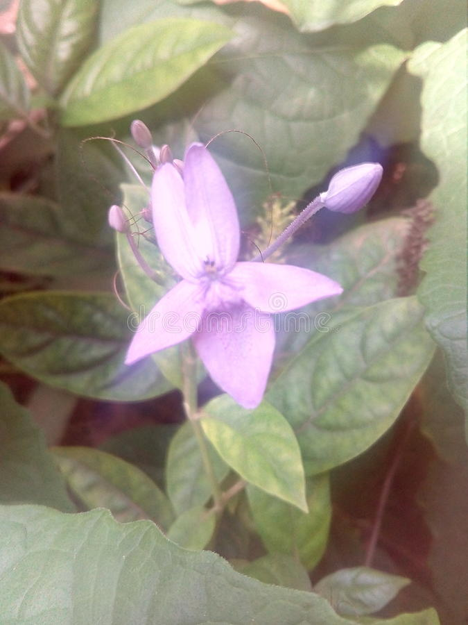 Flower. Home garden hobby srilanka jaffna purple royalty free stock image