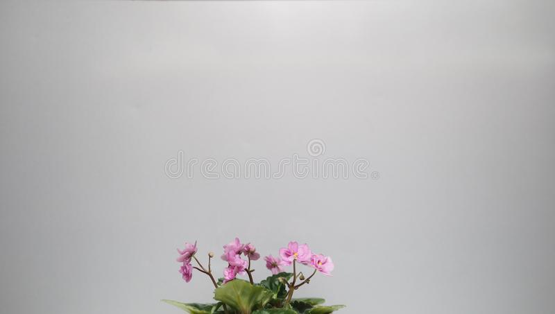 Flower home. Small pink violet on a gray background with a pot. A place for an inscription royalty free stock photos