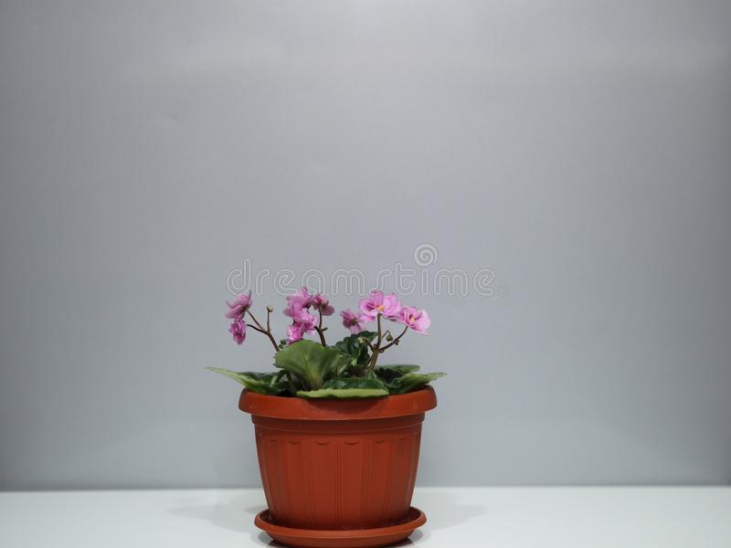 Flower home. Small pink violet on a gray background with a pot. A place for an inscription royalty free stock photography