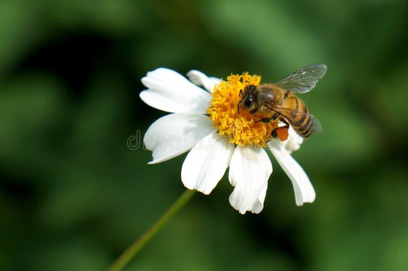 Flower, Honey Bee, Bee, Nectar stock photo