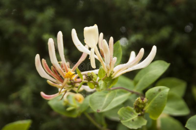 Close-up of a honeysuckle royalty free stock photo
