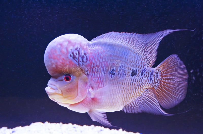 Flower horn fish. Picture of a flower horn fish in an aquarium stock photography