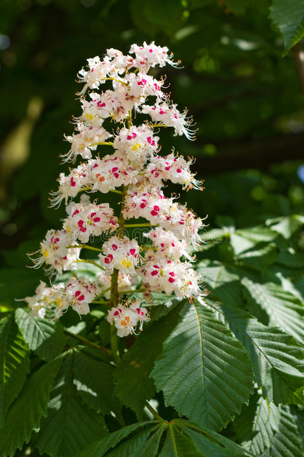 Flower of a horse chestnut tree royalty free stock image