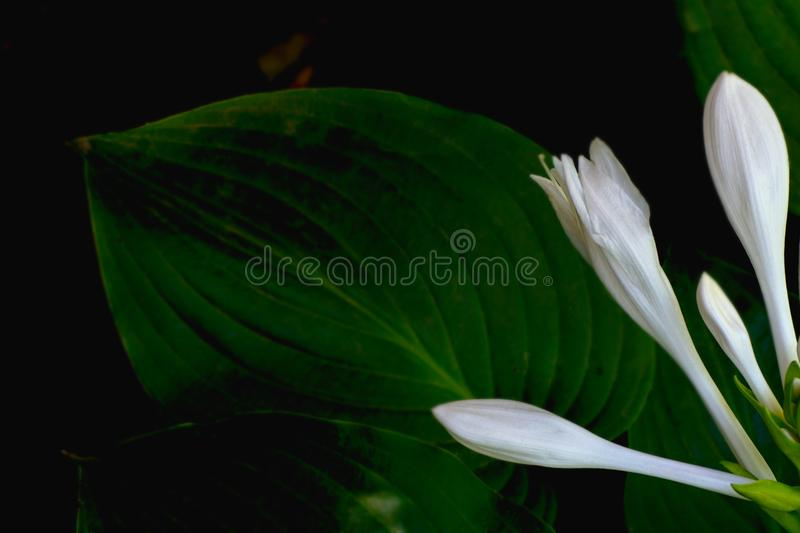 Flower hosts closeup. White flower hosts. Natural background in dark tones flowers hosts and leaves close-up stock photos