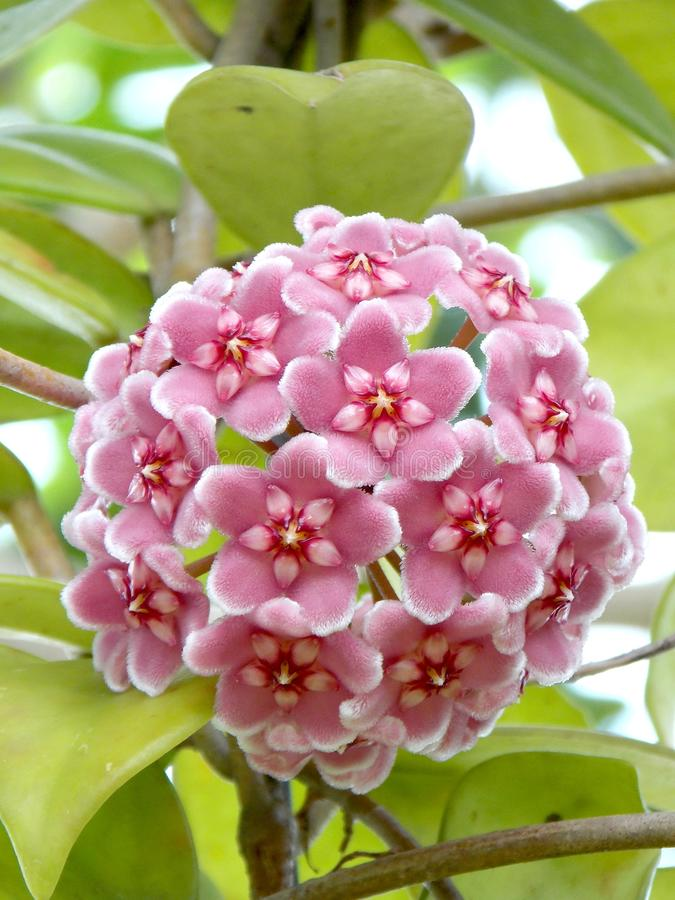 Flower stock photo image of hoya tree lovely flowers 59174068 hoya cornosa pink the flowers are typically light pink but may vary from near white to dark pink they are star shaped and are borne in clusters that mightylinksfo