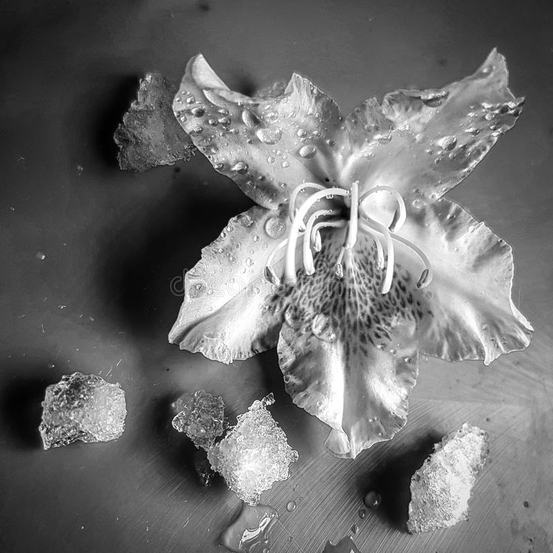 Flower and Ice royalty free stock images
