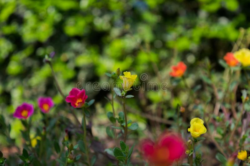Flower image ,Rose Flower image , HD flower image stock photo