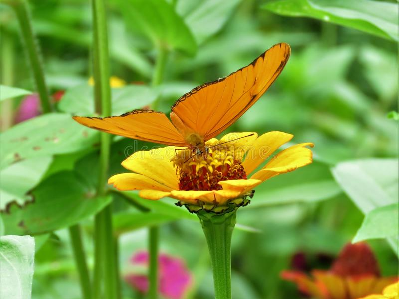 Flower, Insect, Butterfly, Nectar stock photo
