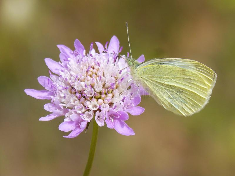 Flower, Insect, Moths And Butterflies, Butterfly royalty free stock image