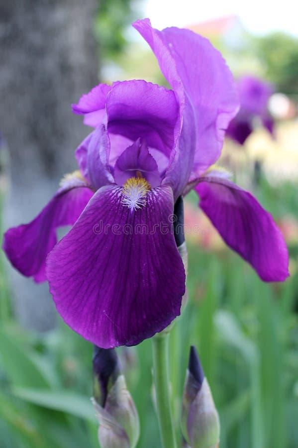 The iris flower. Beautiful purple flower in bloom on a crisp spring morning. Flower iris, lilac petals and green leaves. The iris flower. Beautiful purple flower stock images