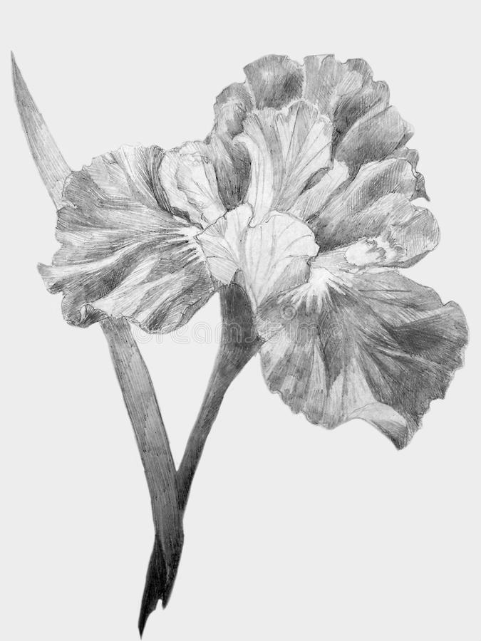Flower Iris sketch stock photography