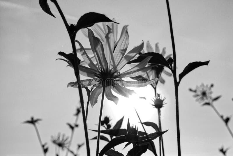 Flower of Jerusalem artichoke stock photo