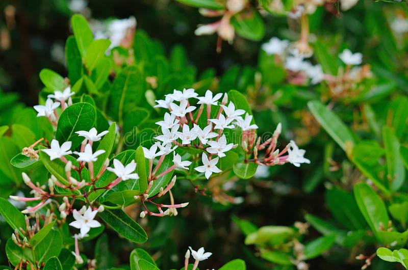 Flower Karanda royalty free stock photos