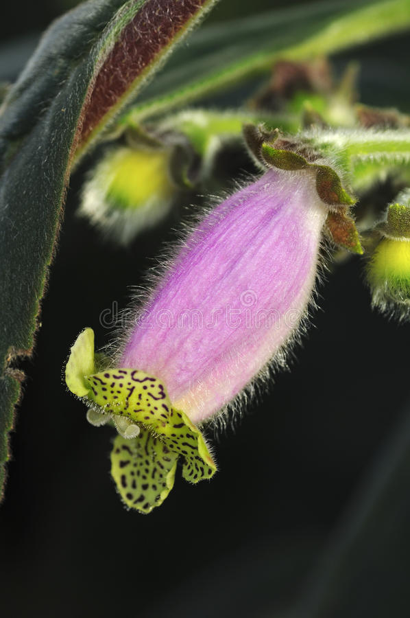 Flower of Kohleria digitaliflora stock photo