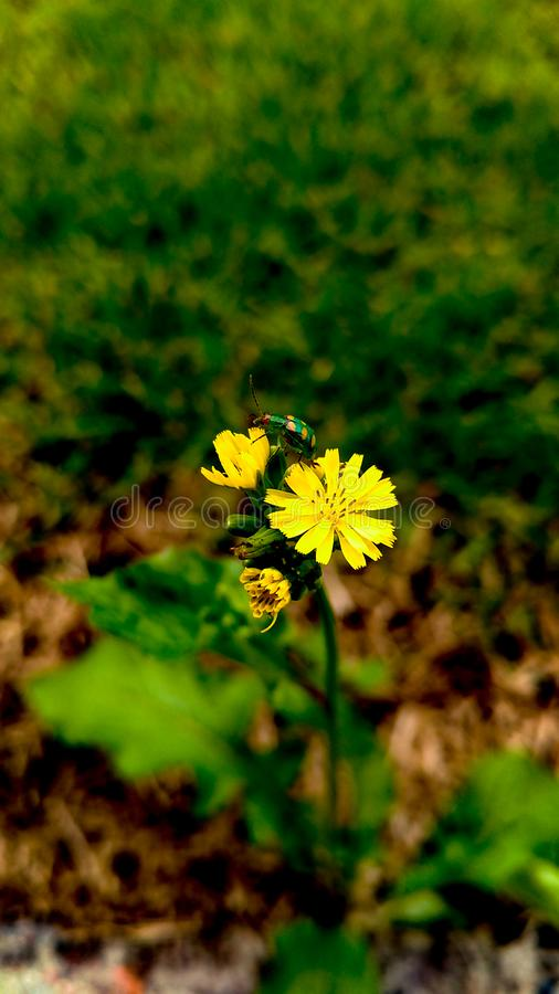 A flower and a ladybug. A flower any with an unusual visitor stock image