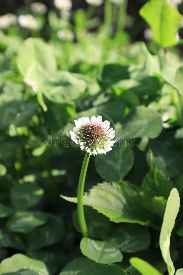 Trifolium(Trifolium Linn). The flower language and symbol of clover grass, clover represent the meaning: pray for hope, love, happiness, a leaf royalty free stock photo