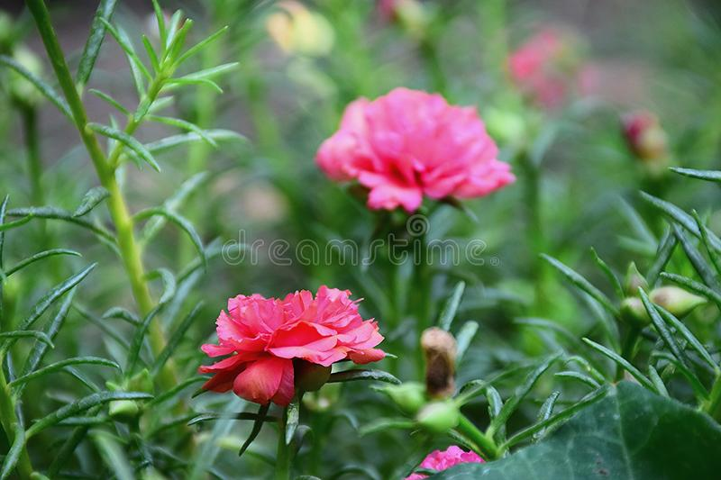 Flower in the garden my homke .flowers of portulaca oleracea. Leaf light closeup portulace grandiflora portulacaceae portulaca rosemoss Leaf light pollen Leaf royalty free stock photography