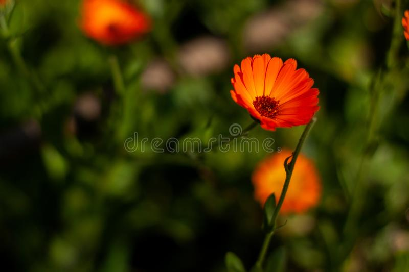 Flower with leaves Calendula, Calendula officinalis, garden or English marigold on blurred green background. Calendula on the royalty free stock images