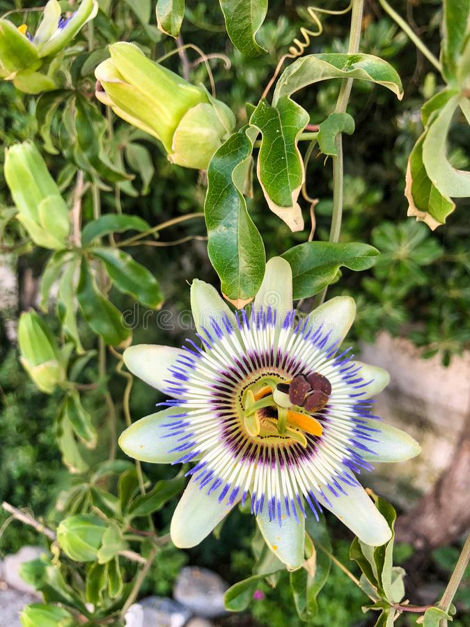 Flower and leaves of cerulean passion flower. In a summer garden stock images