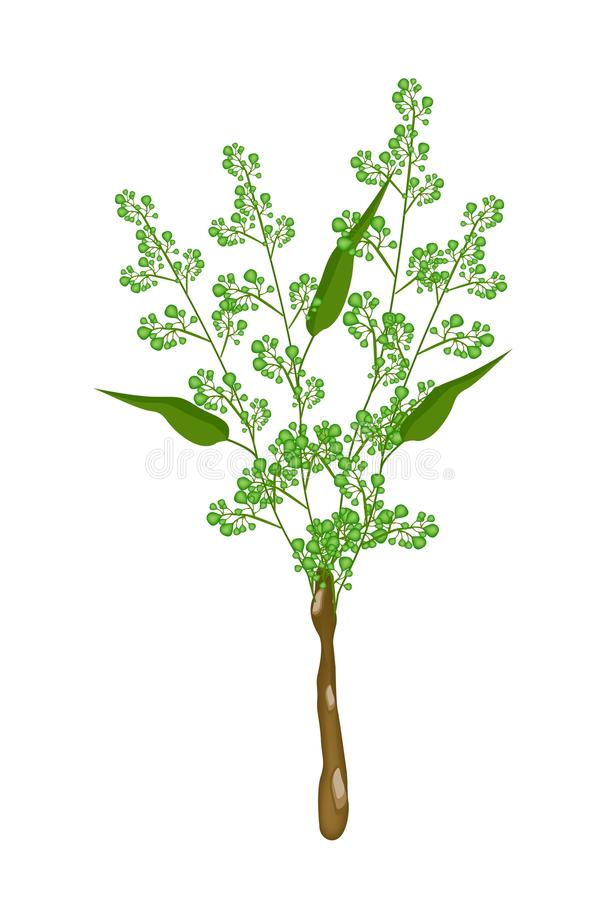 Flower and Leaves of Neem on White Background royalty free illustration