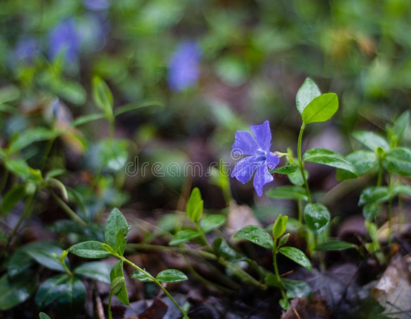 Purple Flower in the woods royalty free stock photos
