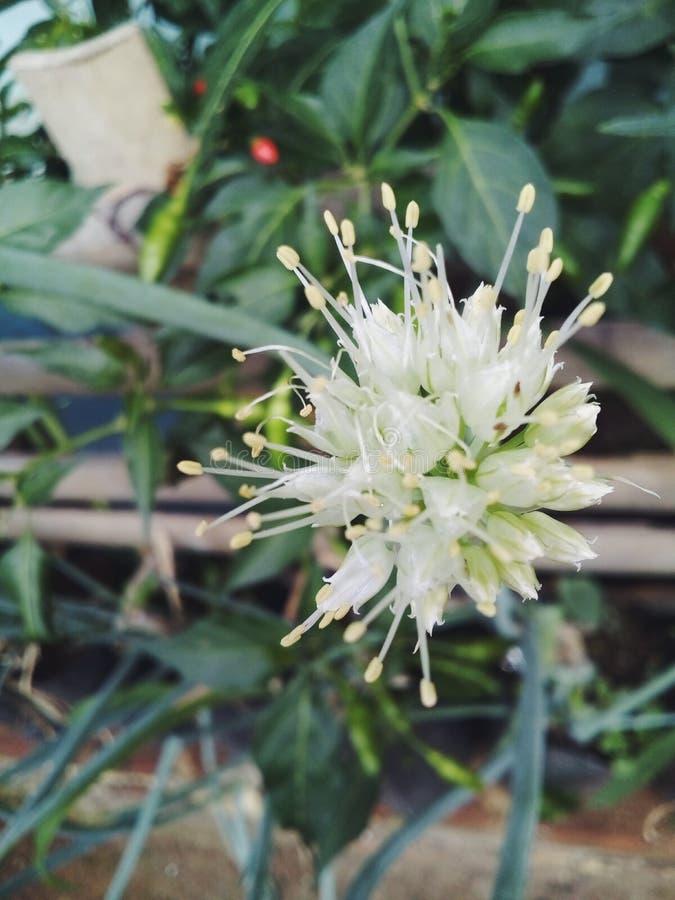 The flower of leek stock photo