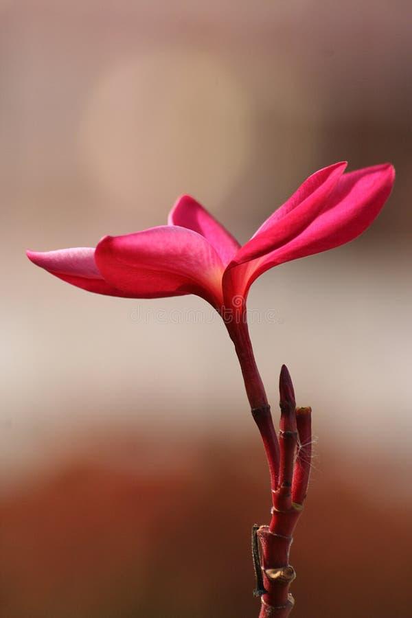 Free Flower Leelavadee Plumeria Stock Images - 16772304