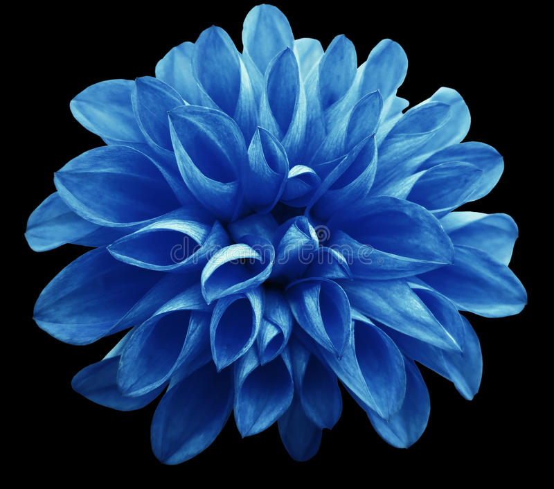 Flower Light Blue Dahlia Isolated On Black Background Is