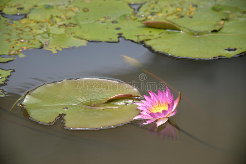 Flower like a crab. From this angle, the lotus looks more like a crab in the lake planning to clim up onto the leaf royalty free stock photo