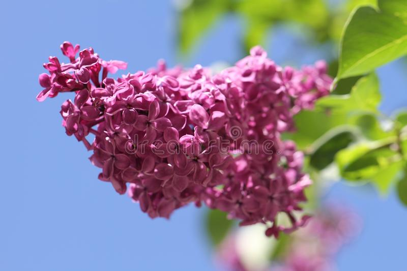 Flower, Lilac, Purple, Flowering Plant royalty free stock photo