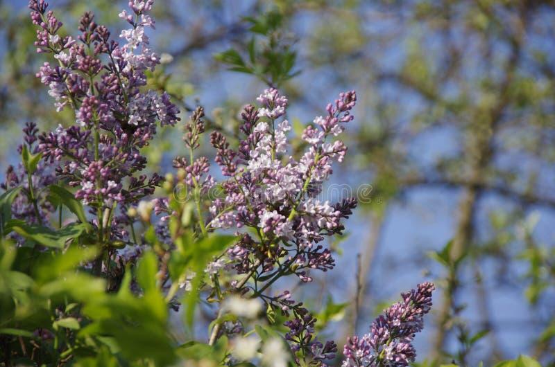 Flower lillik royalty free stock photos