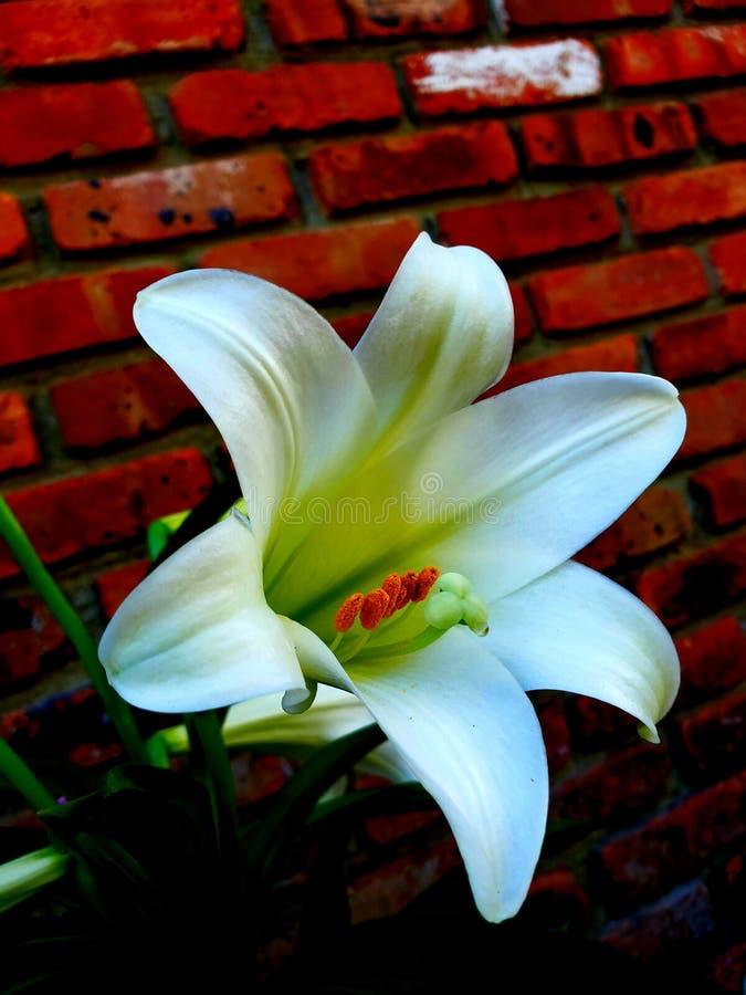 Flower lilly floral vibrant bell immagini stock libere da diritti