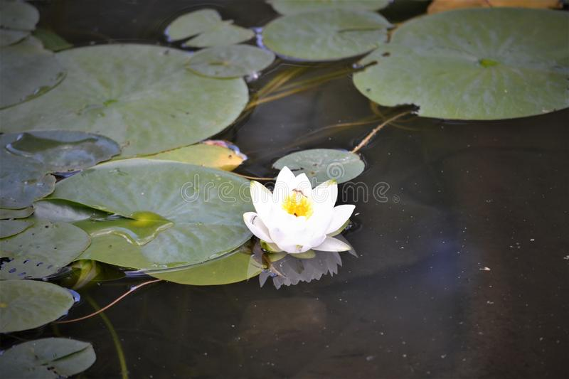 Flower on Lilly Pad stock photos