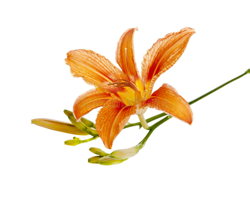 Flower Of A Lily Royalty Free Stock Photos