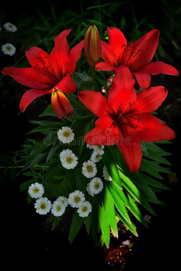 Flower, Lily, Flowering Plant, Plant royalty free stock image