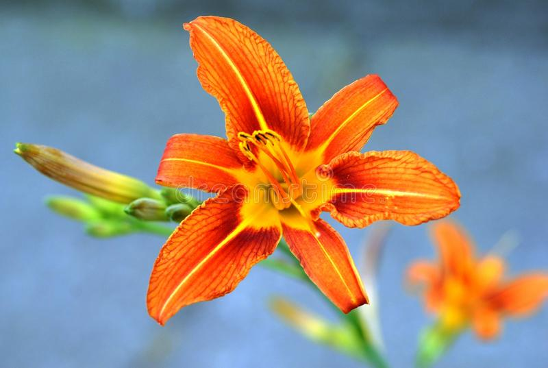 Flower, Lily, Orange, Flora Free Public Domain Cc0 Image