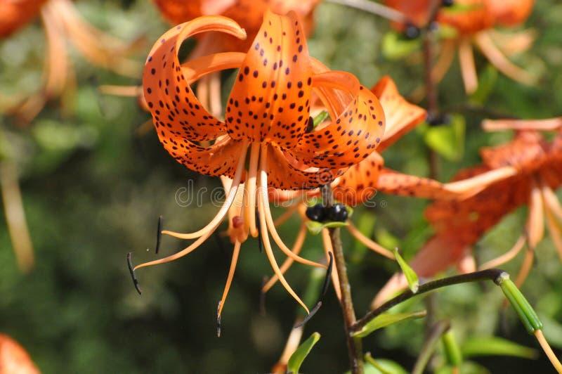 Flower, Lily, Plant, Flora Free Public Domain Cc0 Image