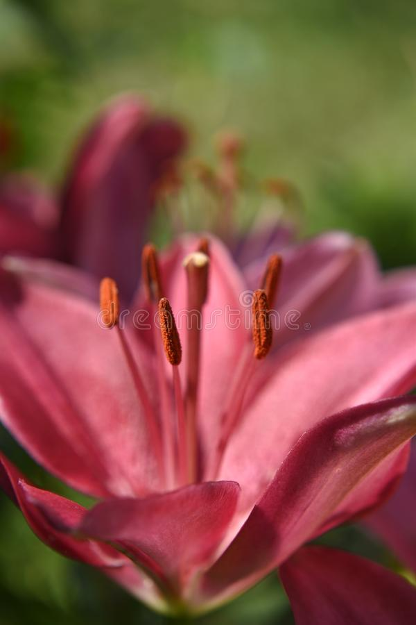 Red lily with large stamens. Flower lily, red, with large stamens, close-up, on a natural blurred background royalty free stock photos