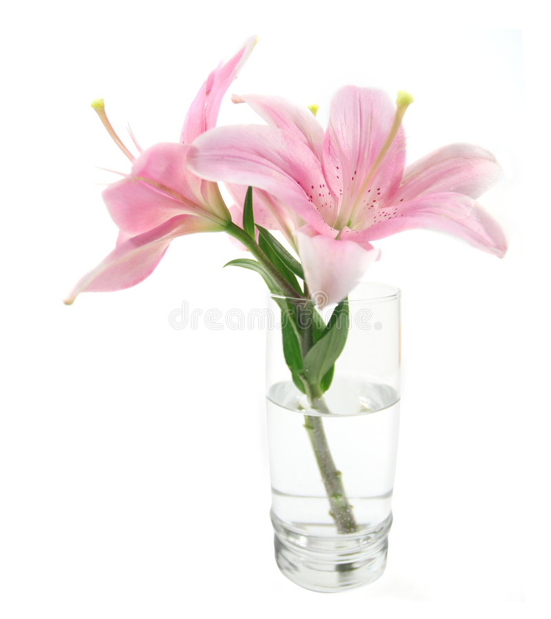 Flower Lily In Vase Isolated Stock Photo Image Of Water Soft