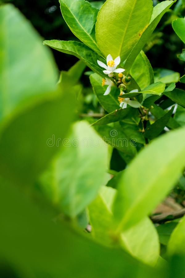 Flower of lime stock photo