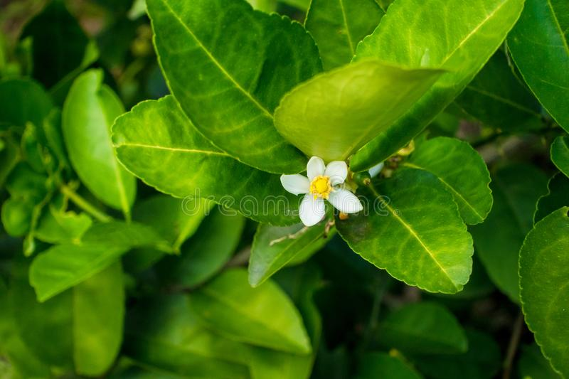 Flower of lime stock photos