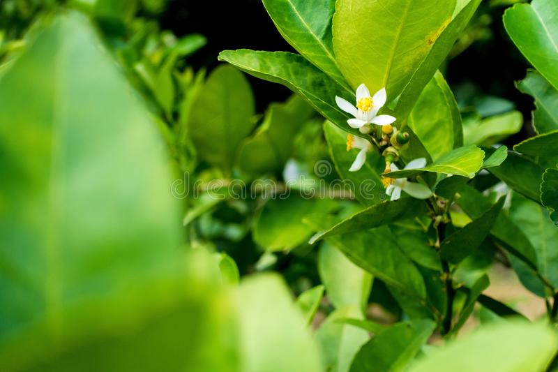 Flower of lime. On a tree royalty free stock photo
