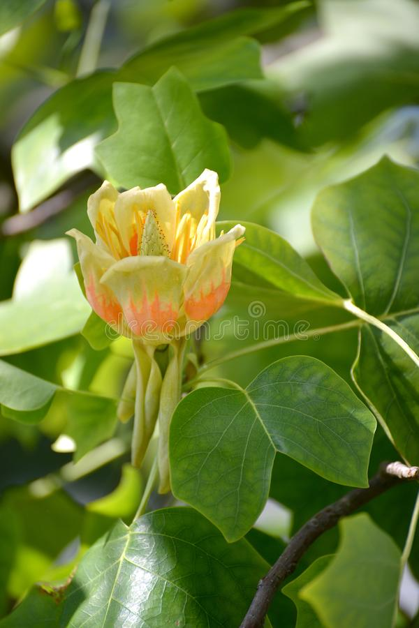 Flower of a liriodendron tulip tulip tree Liriodendron tulipifera L royalty free stock images