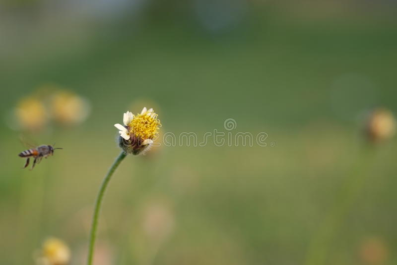 Flower little bees. Bee flower insect wasp yellow sun macro animal outdoor fly park green white spring petal sign field symbol grass ecology summer stock images