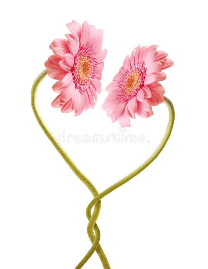 Flower love. Two gerberas love each other stock photography