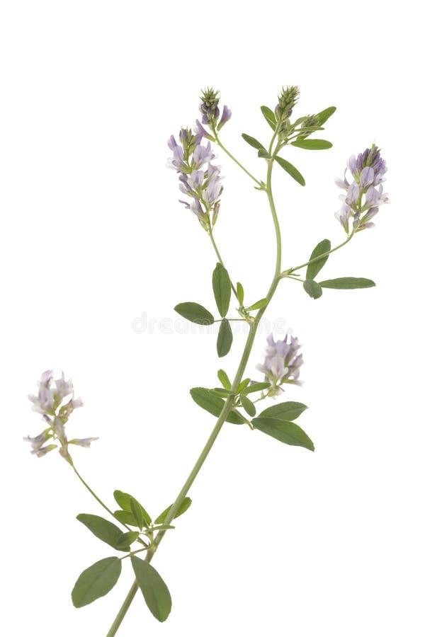 Flower lucerne royalty free stock photos
