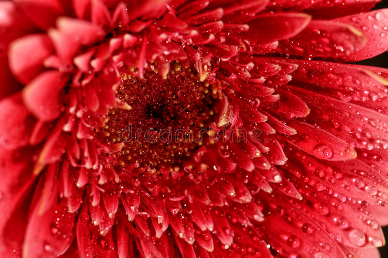 Flower macro. Flower - gerbera macro with water droplets on the petals. shallow depth of field royalty free stock photos